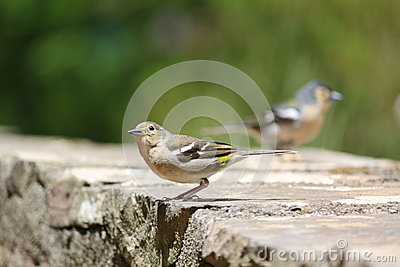 Madeiran Chaffinches