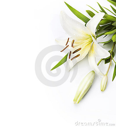 Free Madonna Lily Isolated On A White Background Stock Photos - 20288623