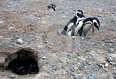 Magellan penguins on an island