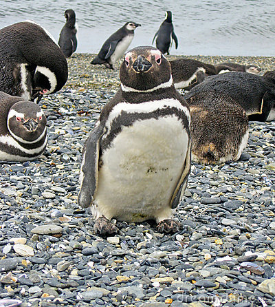 Magellan penguins near Ushuaia