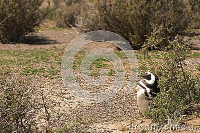 Пингвин Magellanic в Патагонии