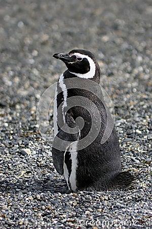 Free Magellanic Penguin Royalty Free Stock Photo - 2179625