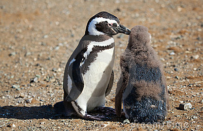 Magellanic Penguin with its nestling