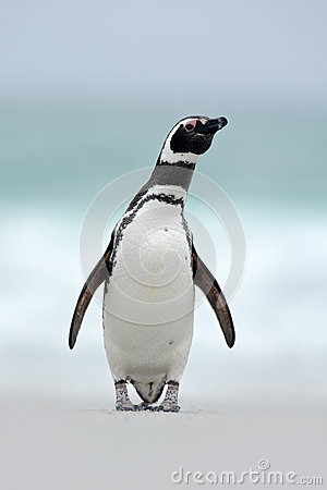 Free Magellanic Penguin, Spheniscus Magellanicus, On The White Sand Beach, Ocean Wave In The Background, Falkland Islands Royalty Free Stock Images - 67950999