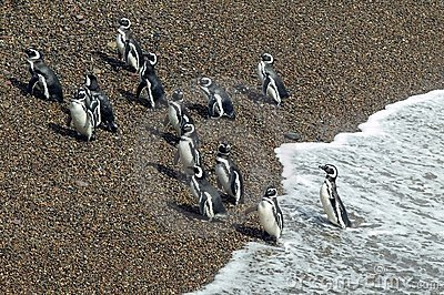 Magellanic Penguins leaving the Atlantic Ocean