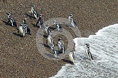 Magellanic Penguins leaving the Atlantic Ocean