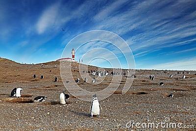 Magellanic penguins on Magdalena island, Chile