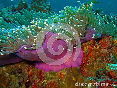 Magenta anemone