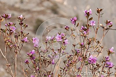 Magenta flowers shrub