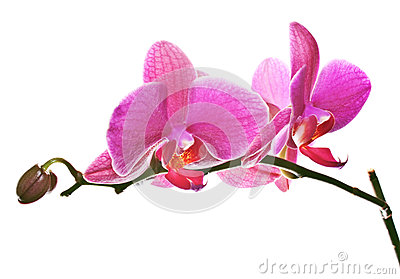 Magenta Pink Orchid on White
