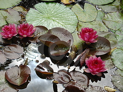 Magenta water lily s