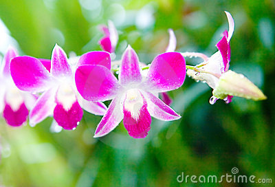 Magenta and white denrobium orchid