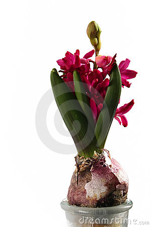 Magentafärgad hyacint