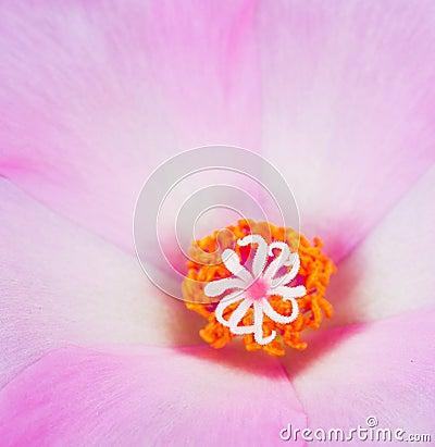 Magentar Portulaca Flowers
