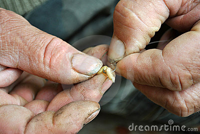 Maggots are raised on a fishing hook