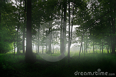 Magic forest trees fog