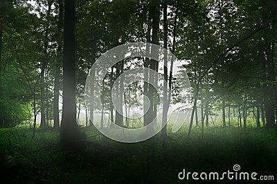 Magic forest trees fog
