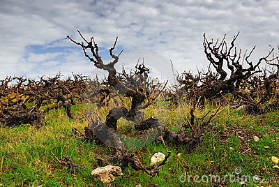 Magic sinister grape bush