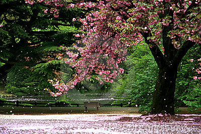 Magic view cherry blossom