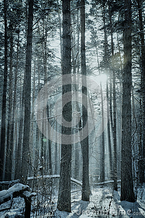 Magic winter forest