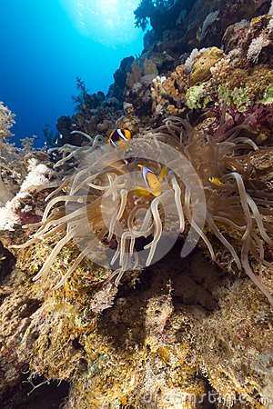 Magnificent anemone and tropical reef in the Red Sea.