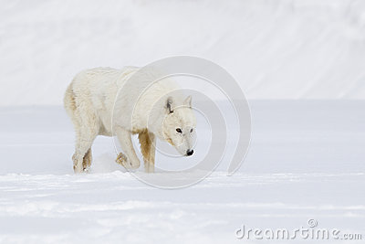 Magnificent Arctic Wolf