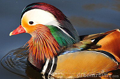 Magnificent feather of mandarin duck