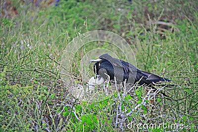 Magnificent Frigatebird female and her chick