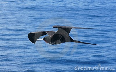 Magnificent Frigatebird in Flight Over the Galapag