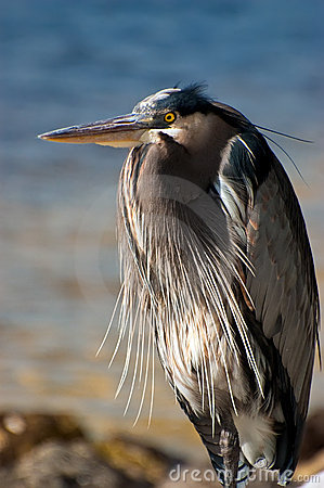 Magnificent Great Blue Heron