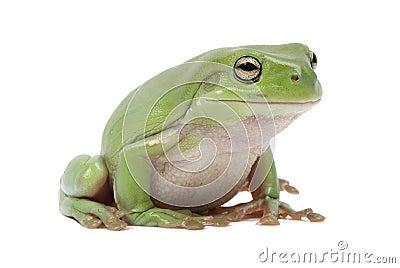 Magnificent green tree frog, Litoria splendida