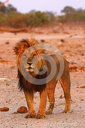 Free Magnificent Pride Of Lions Dad Stock Photography - 88479962