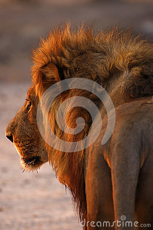 Free Magnificent Pride Of Lions Dad Up Close Rear View Stock Images - 88480564