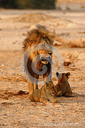 Free Magnificent Pride Of Lions Dad With Cubs Stock Photography - 88482602