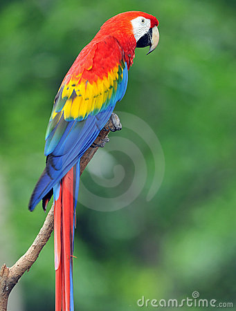 Magnificent scarlet macaw in tree, costa rica