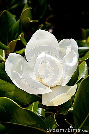 Free Magnolia Stock Photos - 10327023