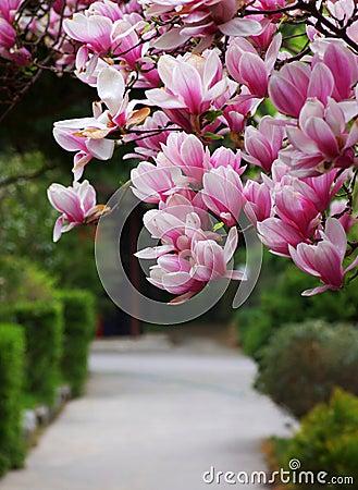 Λουλούδι magnolia άποψης