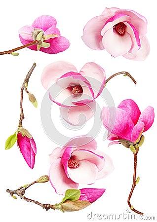 Free Magnolia Royalty Free Stock Image - 9033006
