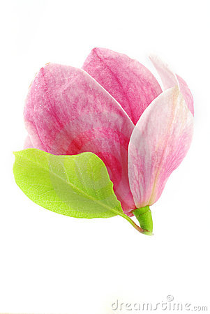 Free Magnolia Bloom Stock Image - 6821561