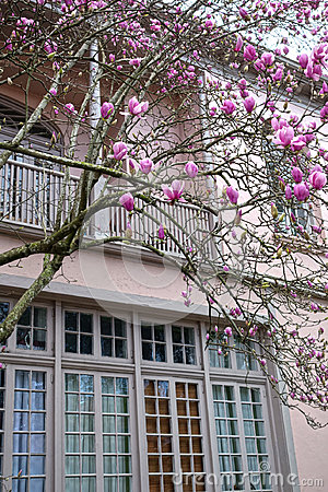 Free Magnolia Blooms In The Garden District Royalty Free Stock Photography - 95478657