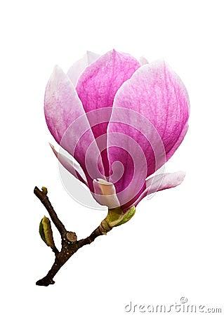 Free Magnolia Blossom Isolated Stock Photo - 23392230