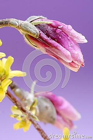 Magnolia bulb
