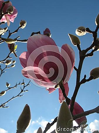 Magnolia day bloom