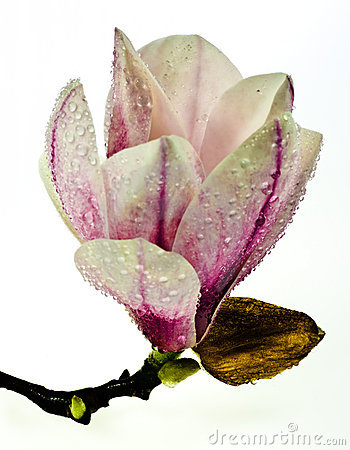 Free Magnolia Flower Royalty Free Stock Photography - 19268567