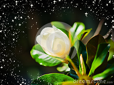 Magnolia Flower Royalty Free Stock Photo - Image: 26140945