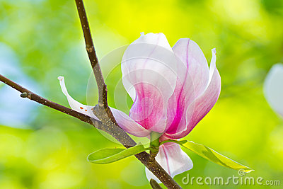 Magnolia flower closeup