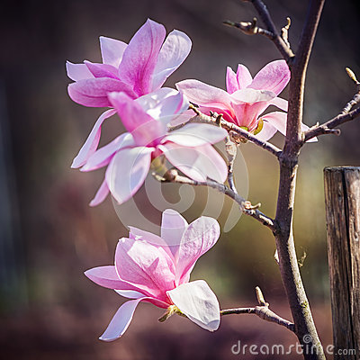 Magnolia flower in the park at springtime