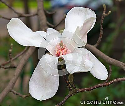 Magnolia flower wider dof