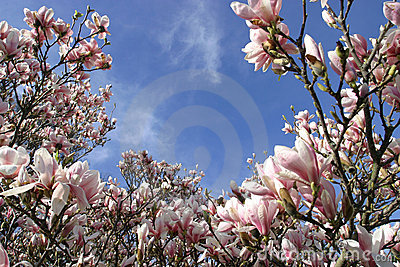 Magnolia Flowers in Spring Bloom