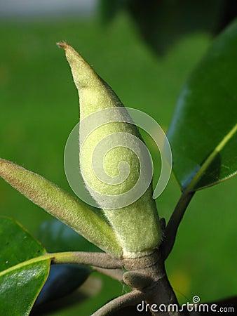 Magnolia grandiflora bud